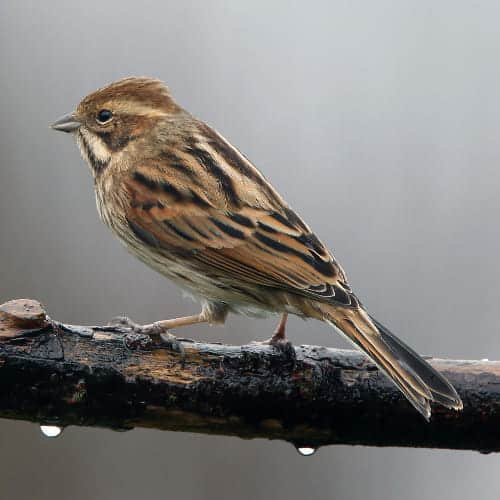 Female Reed Bunting Gardenbird