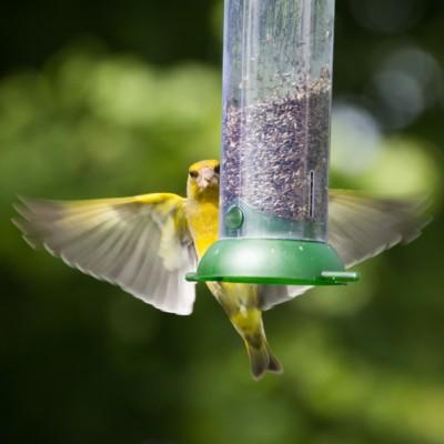 Greenfinch on Feeder