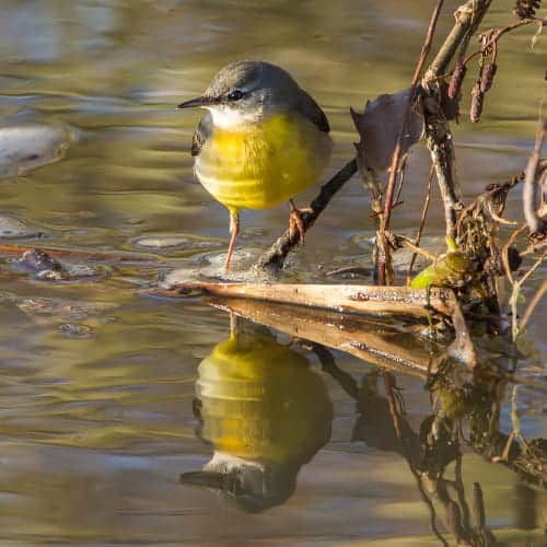 Grey wagtail by a stream