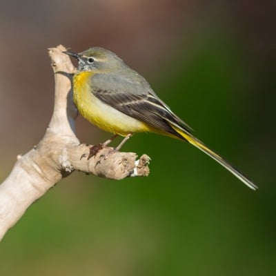 Grey wagtail sitting on a branch