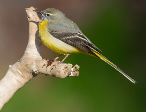 All about the Grey wagtail