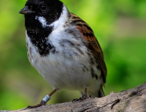 All about the Reed bunting