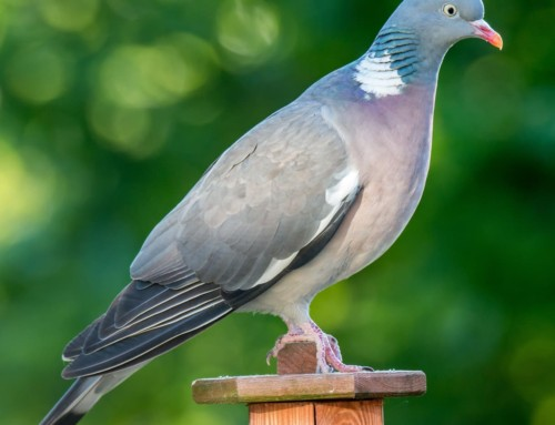 All about the Wood pigeon