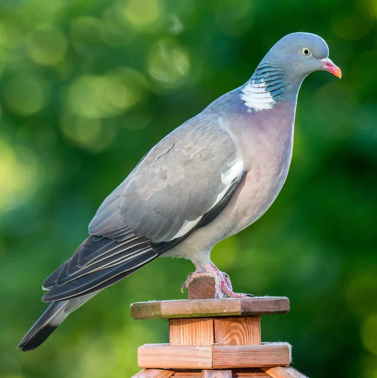 how to get rid of wood pigeons in the garden