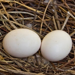 Wood pigeon eggs in nest