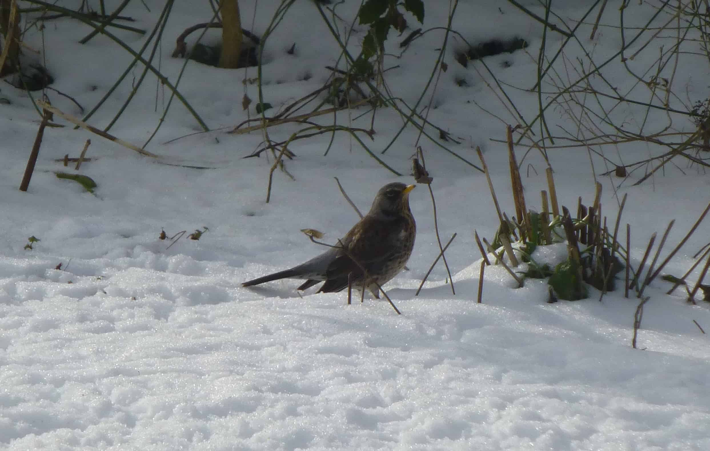 birds and berries david snow