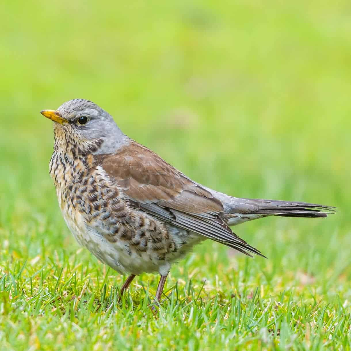 All about the Fieldfare