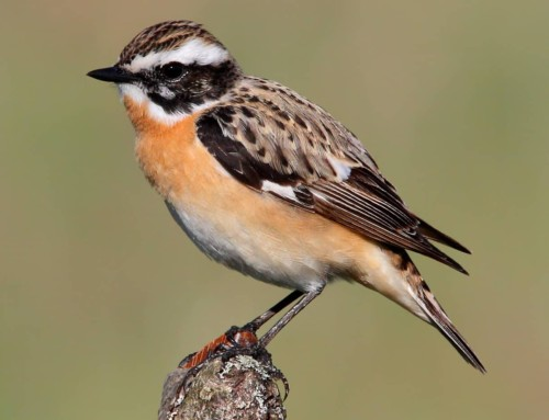All about the Whinchat
