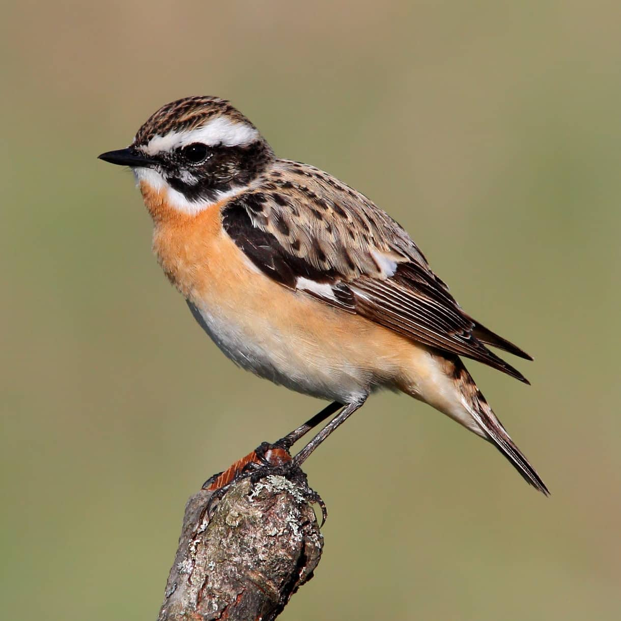 All About The Whinchat Gardenbird