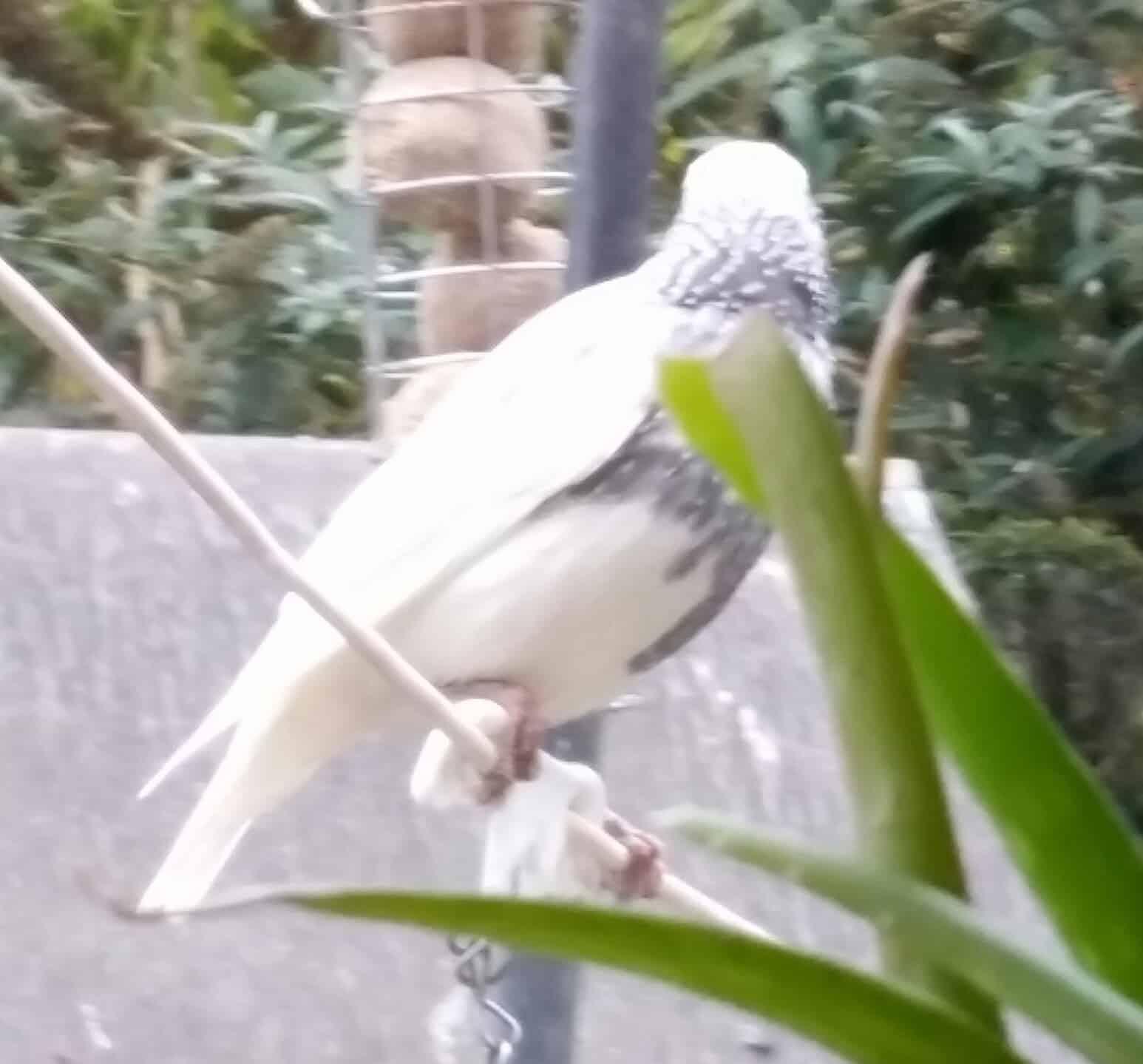 All about the Starling - GardenBird