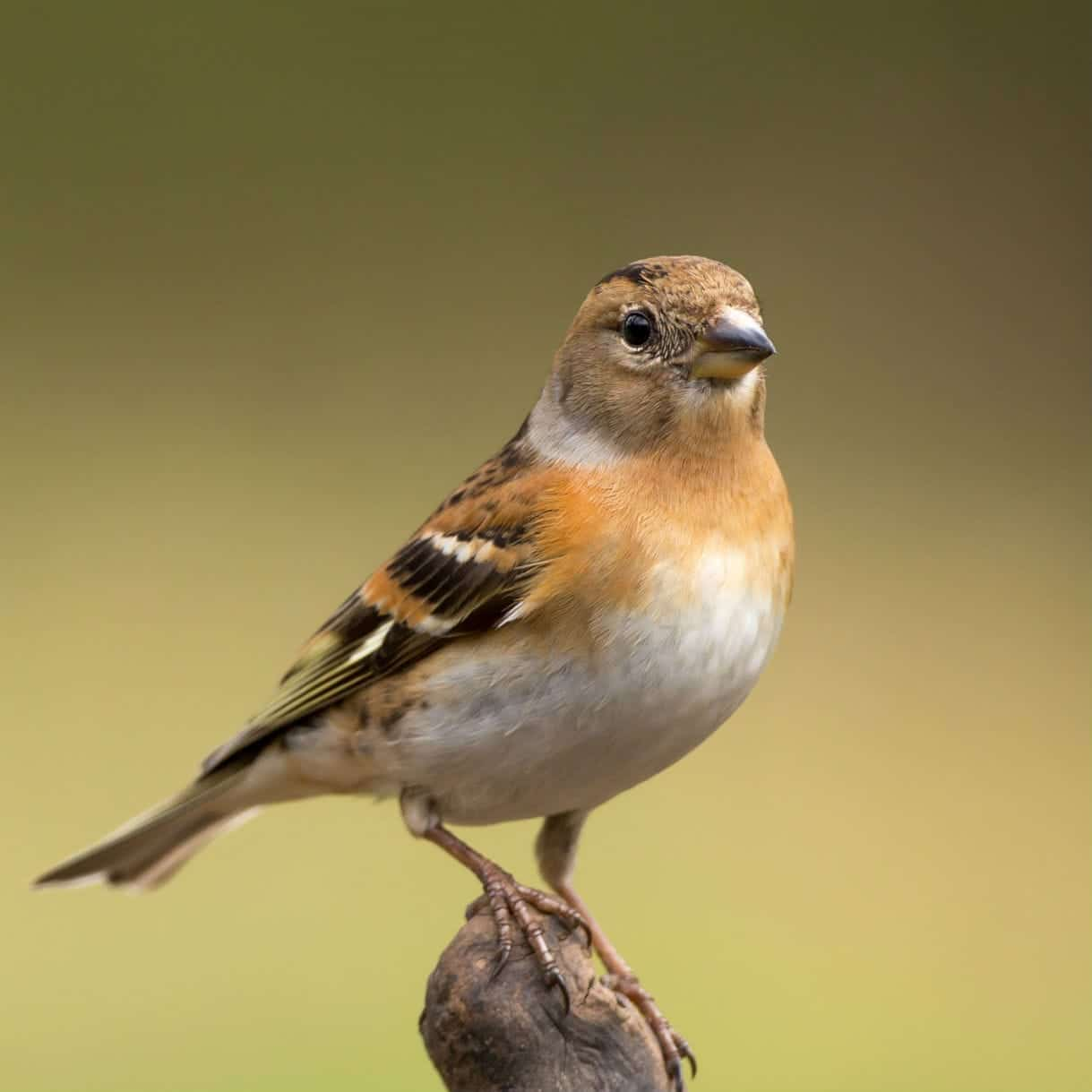 All about the Brambling