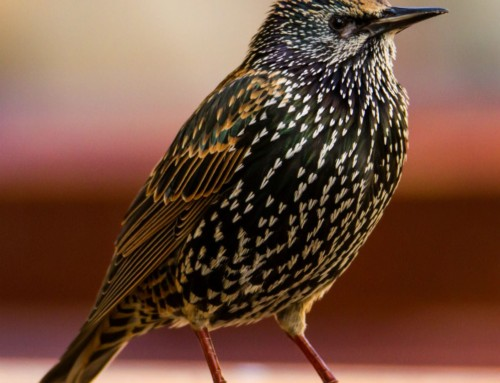 All about the Starling