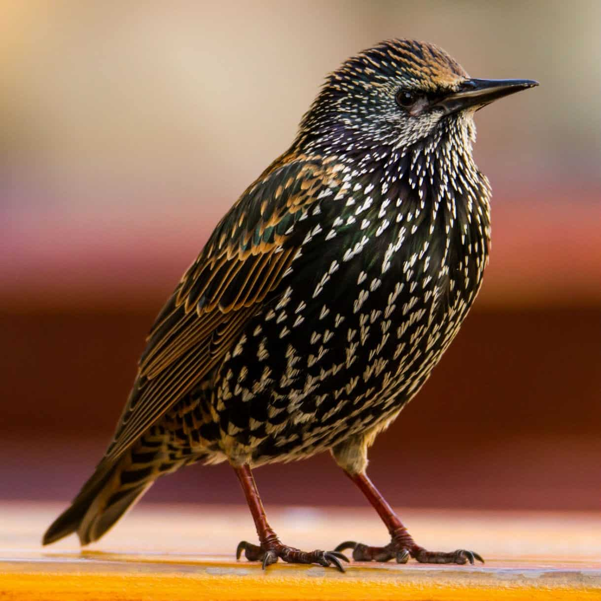 how to tell if a bird is a songbird
