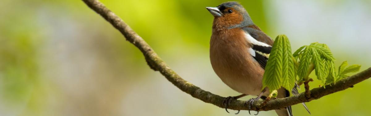 chaffinch-perching