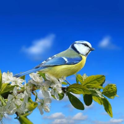 Blue tit in summer