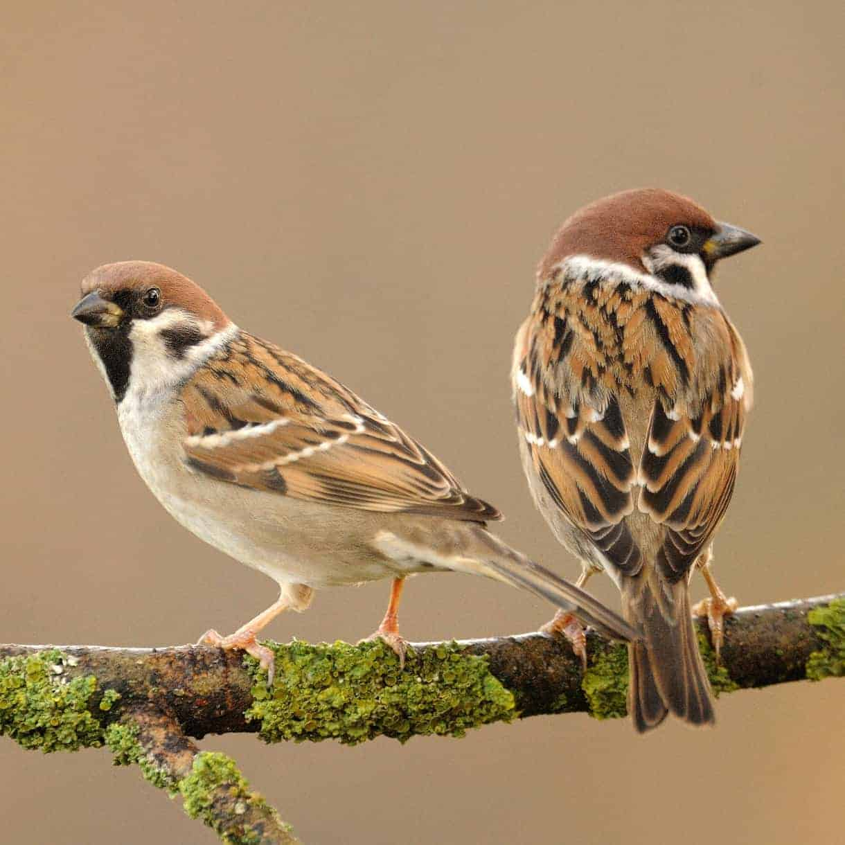 All about the Tree sparrow