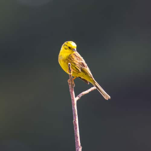 Yellowhammer on branch