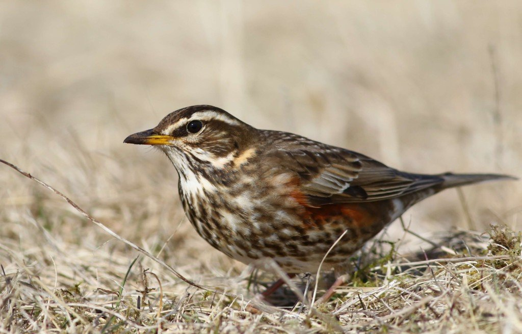Redwing perched on the ground