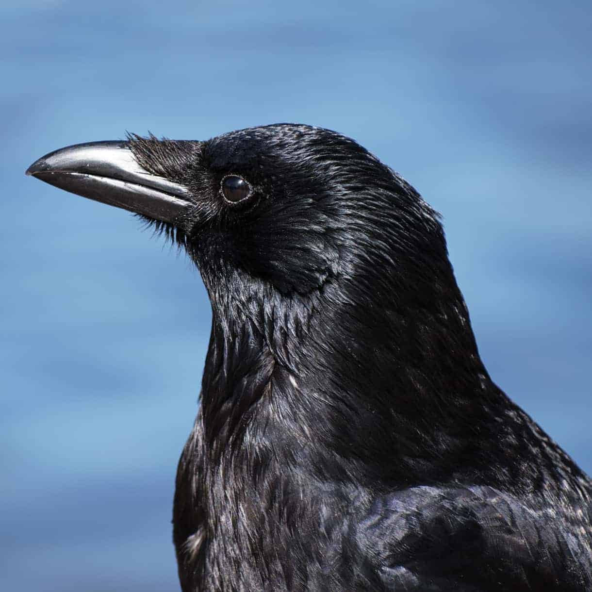 All about the Carrion crow