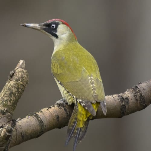 Female Green woodpecker - Picus viridis