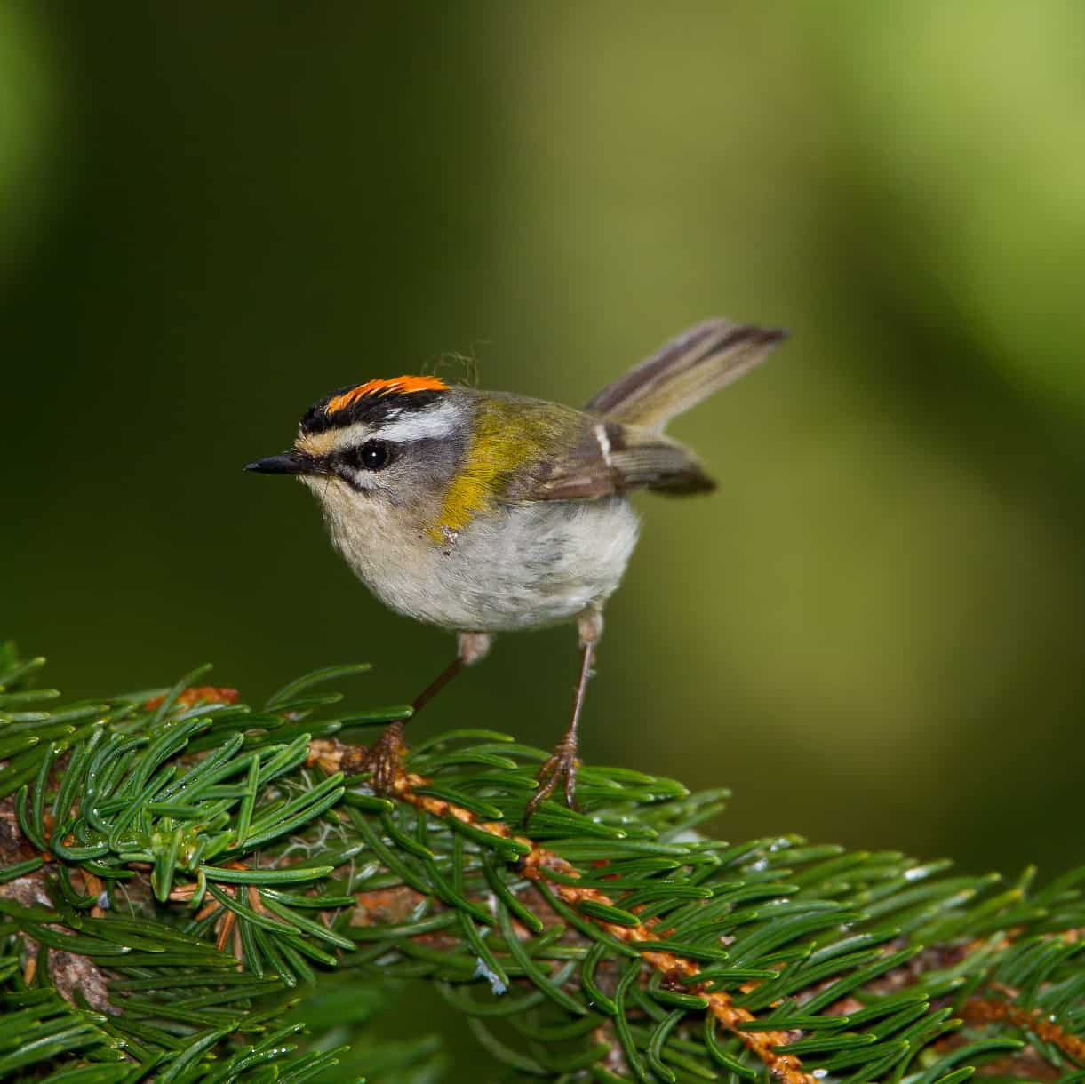 All about the Firecrest