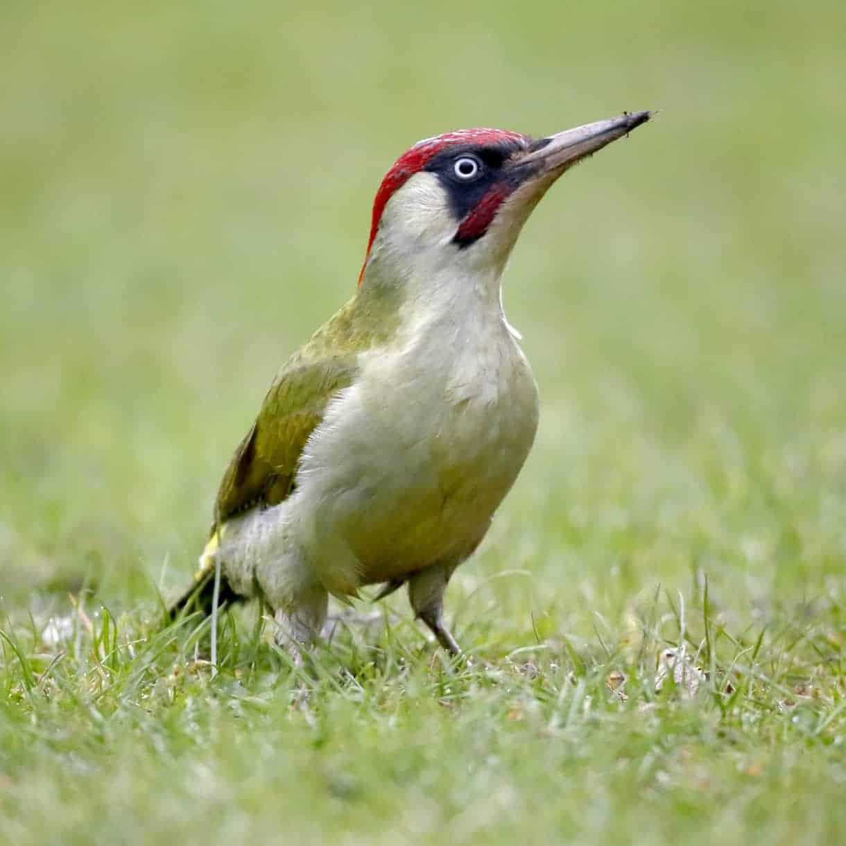 All About The Green Woodpecker Gardenbird