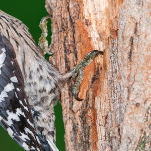 Evolutionary adaptation of the toes of a Lesser spotted woodpecker