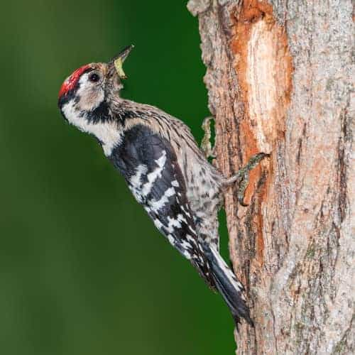 Lesser spotted woodpecker - Dendrocopus minor