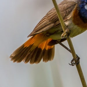 The fanned tailed of a Bluethroat