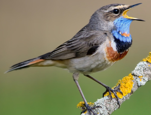 All about the Bluethroat