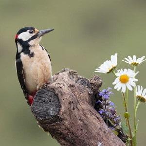 Great spotted woodpecker - Dendrocopus major