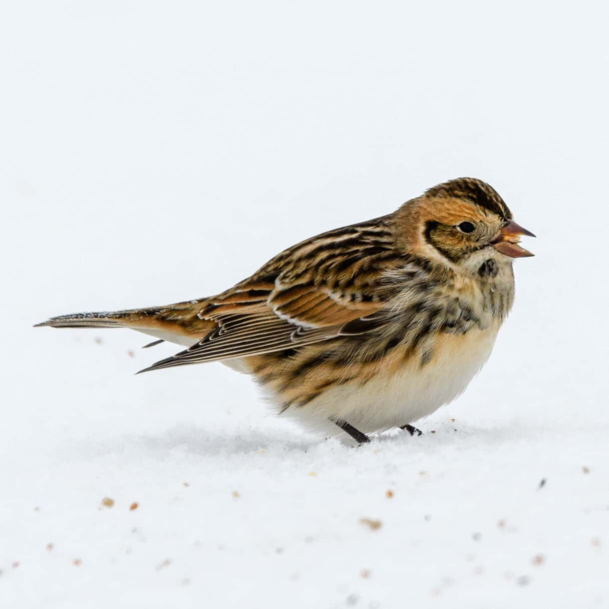 All About The Lapland Bunting
