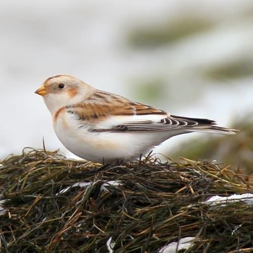 Snow bunting - Plectrophenax nivalis