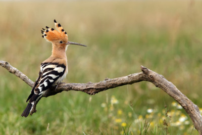 The hoopoe (Upupa epops), Epupa epops, sitting on the branch with green background