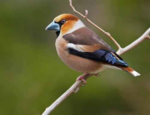 All about the Hawfinch