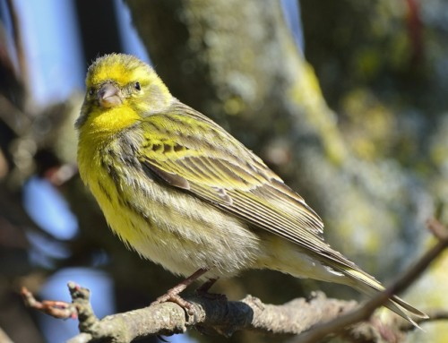 All about the Serin