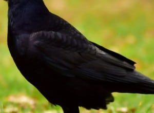 Feathers of a Rook