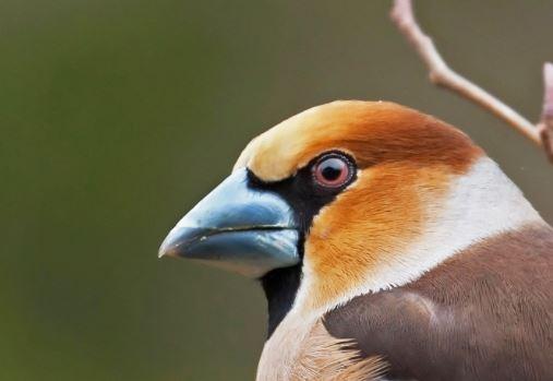 Hawfinch bill