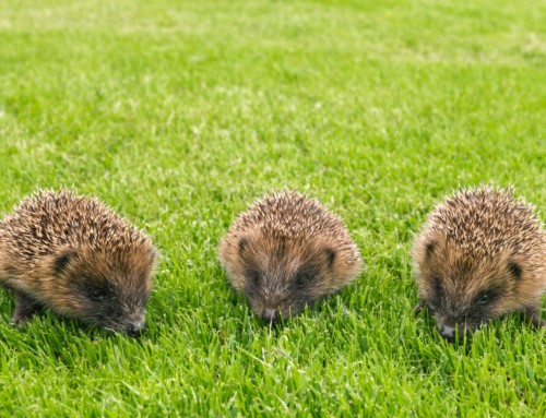 The Plight of the Hedgehog