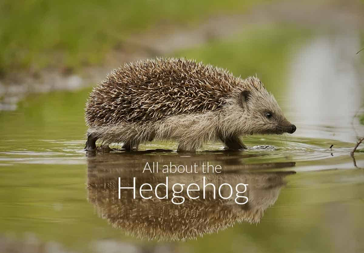 All About the Hedgehog
