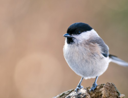 All about the Marsh tit