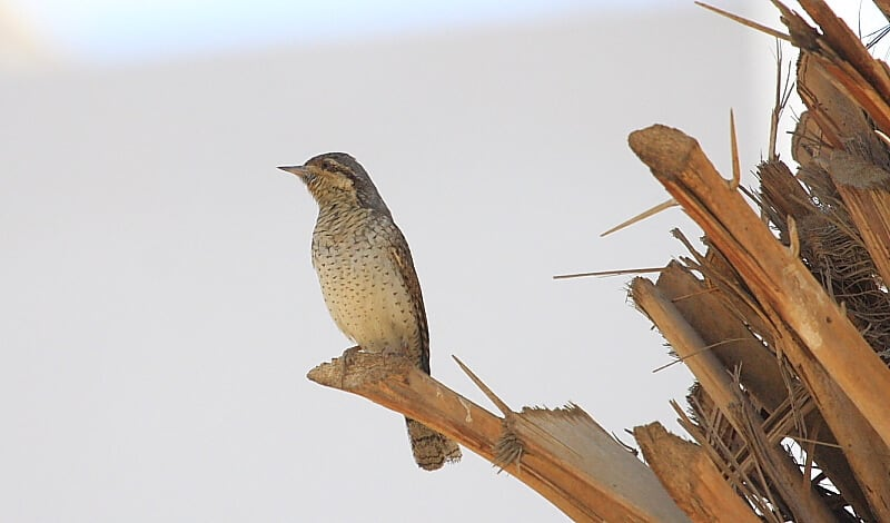 Eurasian Wryneck Perched