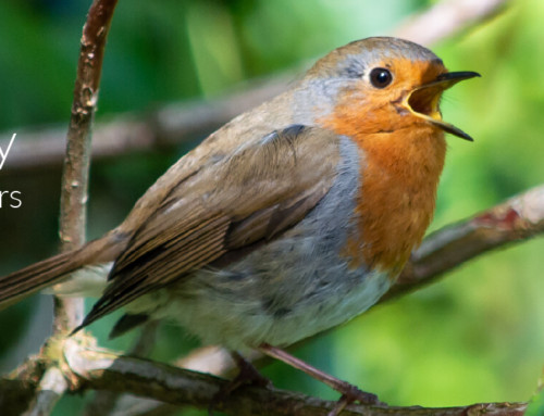 A Garden Birder's Diary – Robins, the First Singers of Autumn