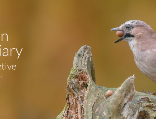 A Garden Birder's Diary – Jays, the Secretive Screechers