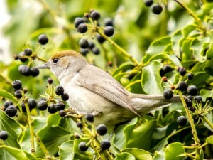 Blackcap in Hedgerow