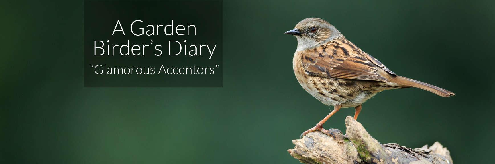 A Garden Birder's Diary – Glamorous Accentors