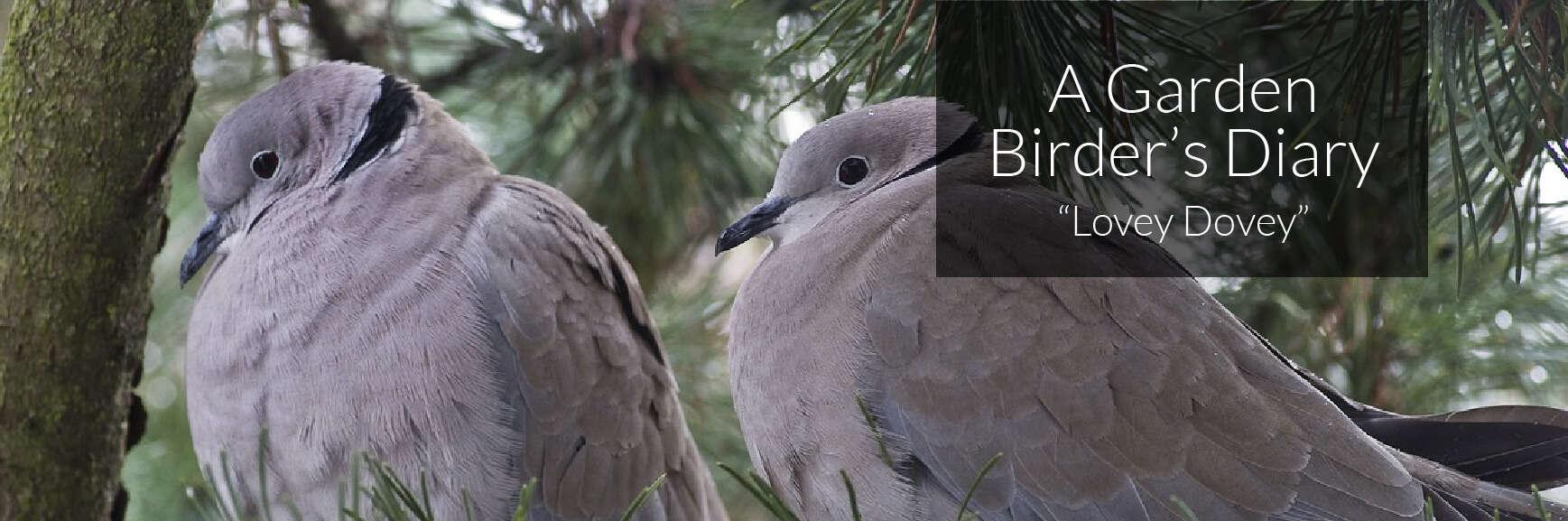A Garden Birder's Diary – Lovey Dovey