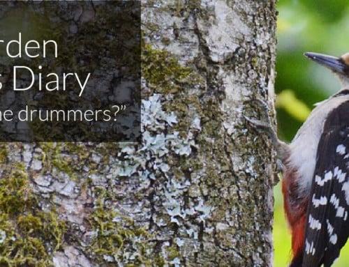 A Garden Birder's Diary – Can you hear the drummers?