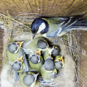 Great Tit Nest