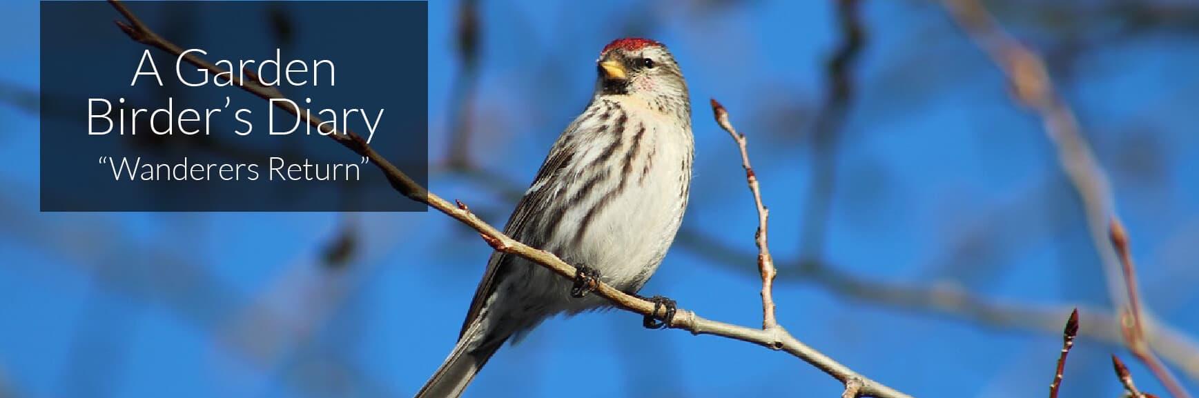 A Garden Birder's Diary – Wanderers Return